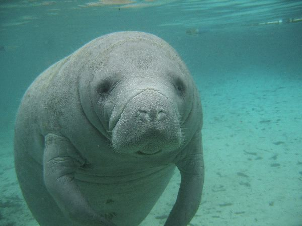 Manatee_Sea_Cow_Crystal_River_Florida_600